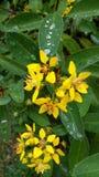 Flor amarela com gotas da chuva Foto de Stock Royalty Free
