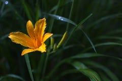 Flor amarela com obscuridade - fundo verde fotos de stock royalty free