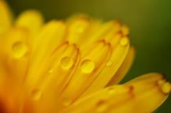 Flor amarela com os pingos de chuva nas pétalas Foto de Stock