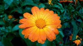 Flor amarela com pingos de chuva fotos de stock