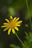 Flor amarela com vespa Imagens de Stock
