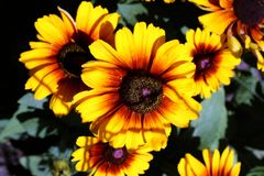 Flor amarela, flor completa, Coneflower Foto de Stock Royalty Free