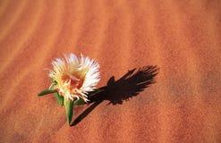 A flor amarela cresce em uma duna de areia no deserto fotografia de stock