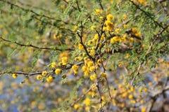Flor amarela da acácia Foto de Stock