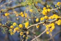 Flor amarela da acácia Fotos de Stock Royalty Free