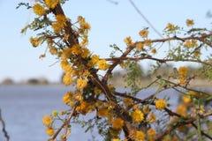 Flor amarela da acácia Foto de Stock Royalty Free