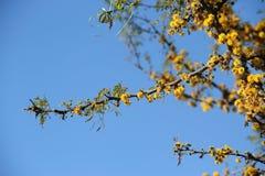 Flor amarela da acácia Imagens de Stock Royalty Free