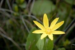 Flor amarela da arnica Fotos de Stock Royalty Free