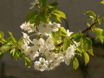 Flor amarela da cereja de cornalina Imagem de Stock Royalty Free