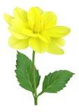 Flor amarela da dália Fotos de Stock