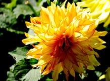 Flor amarela da dália Foto de Stock