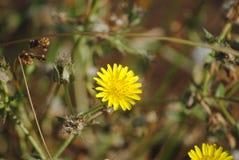Flor amarela da erva daninha do Hawkweed Imagens de Stock Royalty Free