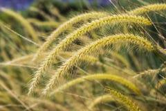 Flor amarela da grama do Poaceae fotos de stock royalty free