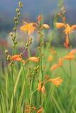 Flor amarela da grama no campo Fotos de Stock Royalty Free