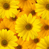 Flor amarela da margarida Foto de Stock