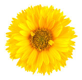 Flor amarela da margarida Imagem de Stock Royalty Free