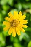 Flor amarela da margarida Fotografia de Stock