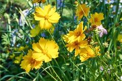 Flor amarela da margarida Fotografia de Stock Royalty Free