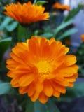 Flor amarela da margarida do gerbera imagens de stock