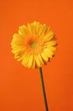 Flor amarela da margarida do gerbera Fotos de Stock