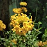 A flor amarela da margarida do hibrid fotos de stock