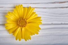 Flor amarela da margarida no fundo de madeira branco Fotos de Stock