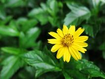 Flor amarela da margarida no jardim Imagens de Stock Royalty Free