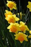 Flor amarela da mola Fotos de Stock Royalty Free