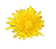 Flor amarela da mola Imagem de Stock Royalty Free