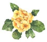 Flor amarela da mola do Watercolour e da prímula do verão Imagens de Stock