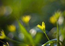 Flor amarela da mola em um fundo fantástico borrado fotos de stock royalty free