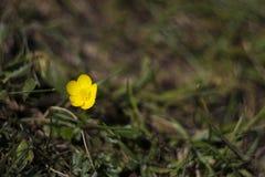Flor amarela da montanha imagens de stock royalty free
