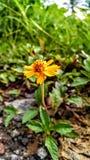 Flor amarela da natureza Natural bonito Recompensa do ` s da natureza Amarelo brilhante de Sun foto de stock