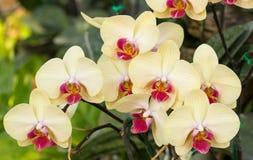 Flor amarela da orquídea do phalaenopsis Imagens de Stock Royalty Free