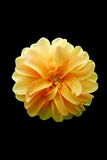 Flor amarela da pétala Imagem de Stock Royalty Free