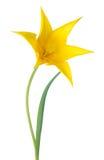 A flor amarela da tulipa é isolada no branco Foto de Stock Royalty Free