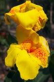 Flor amarela de Canna Fotos de Stock Royalty Free