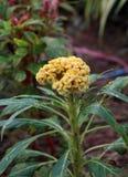 Flor amarela de Cockcomb na árvore As flores da crista são sabidas igualmente como flores ou Brain Celosia de lãs fotografia de stock
