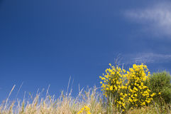 Flor amarela de encontro ao céu azul Imagens de Stock