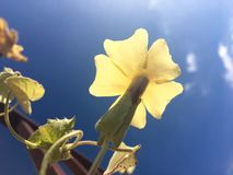 Flor amarela de encontro ao céu azul Imagem de Stock Royalty Free