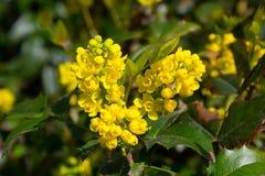 Flor amarela de florescência Imagens de Stock