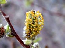 Flor amarela de florescência da árvore Ramified na primavera Fotos de Stock Royalty Free