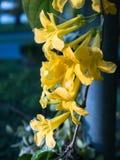 A flor amarela de Kirkii do Thunbergia imagem de stock