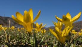 Flor amarela do açafrão Foto de Stock Royalty Free