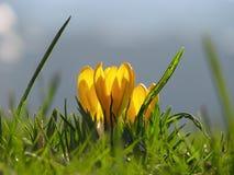 Flor amarela do açafrão na mola Fotografia de Stock