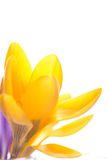 Flor amarela do açafrão no fundo branco brilhante Foto de Stock Royalty Free