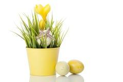 Flor amarela do açafrão no potenciômetro com ovos Imagens de Stock Royalty Free
