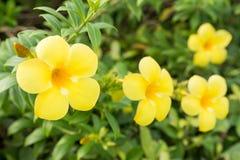 Flor amarela do Allamanda Fotos de Stock Royalty Free