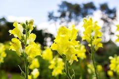 Flor amarela do boca-de-lobo Imagens de Stock Royalty Free