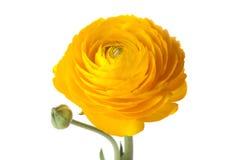 Flor amarela do botão de ouro fotografia de stock